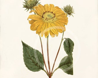 Antique Botanical Art Print - 5 x 7 - Natural History - Helianthus Multiflorus
