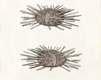 Antique Sea Urchin Art Print - 5 x 7 - The Piper - Cidaris Papillata