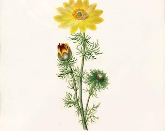 Antique Botanical Art Print - 5x7 - Adonis