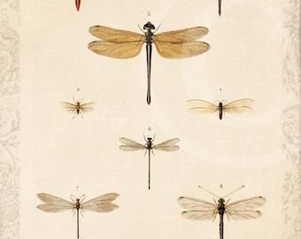 Antique Dragonflies - Art Collage Print - 5 x 7 - Dragonflies