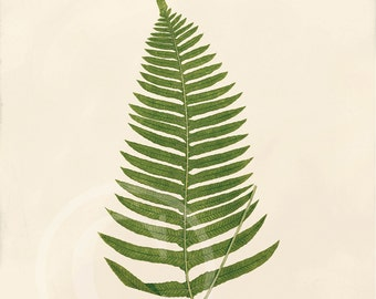 Antique Fern Art Print - 8x10 - Polypodium Catharinae