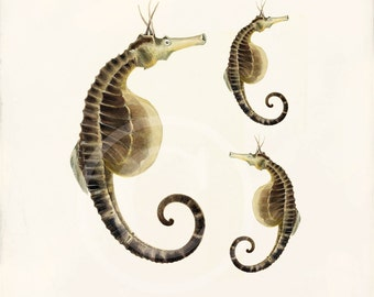 Antique Sea Horse Art Print - 8x10 - Pot Bellied Sea Horses