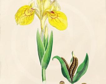 Antique Botanical Print - 5 x 7 - - Natural History - Yellow Iris