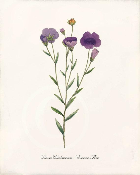 Beautiful Antique Botanical Print - 8 x 10 - Common Flax