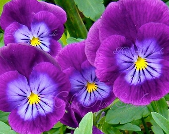 Purple Pansies Note Card - Bold Color, Macro Photo Art Card, Blank, Birthday, Thanks, Sympathy