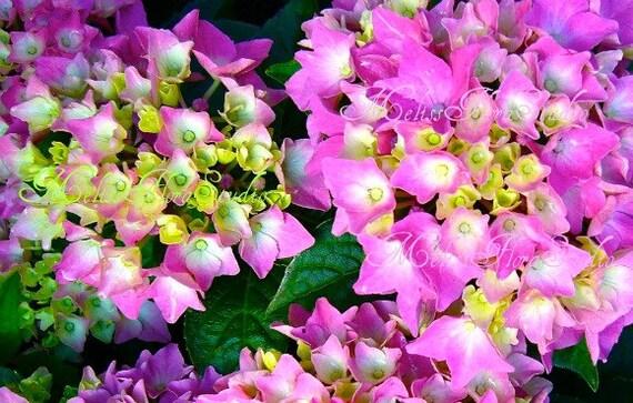 Brilliant Hydrangeas Note Cards - Set of 3 - Spring Garden Blooms, Birthday, Blank, Handmade Photo Art Cards