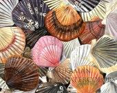 Bay Scallop shells watercolor (print) by Damon Crook (11 x 14)