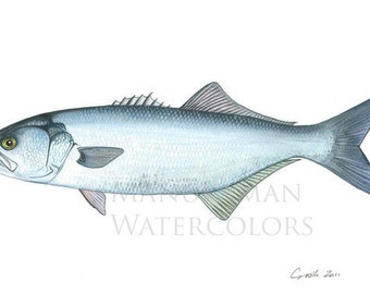 Print of BlueFish watercolor by Damon Crook (11 x 14)