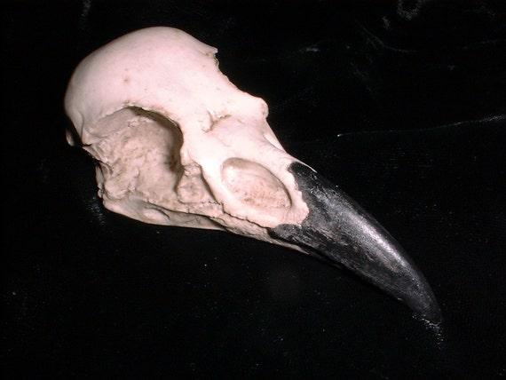 Raven's Skull  a Nature Casting