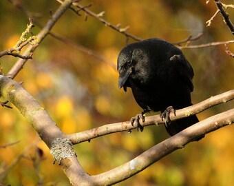 Crow Photo, wall decor, home decor, cottage decor, old crow photo, bird decor
