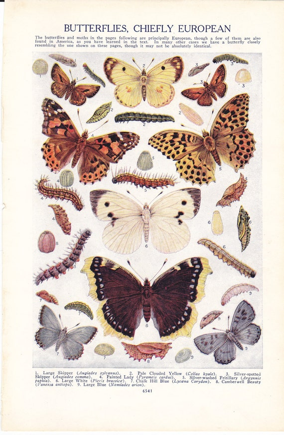 Vintage book plate from 1928, Butterflies Chiefly European (plate 1)