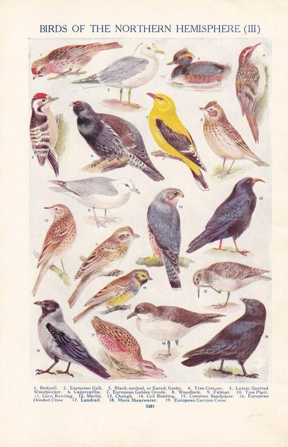 Vintage book plate from 1928, Birds of the Northen Hemisphere (III)