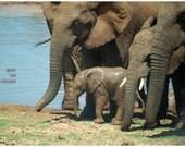 Elephant photograph, animal photography, nursery decor, travel photo, elephant family, baby elephant, 12x8.7
