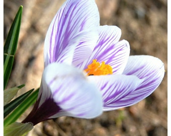 Purple crocus, Nature photography, Purple and White, Flower print, Spring flowers, Rustic home décor, Garden art, Dining room wall art