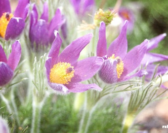 Purple Pasque flower, Nature photography, Prairie Crocus, Flower print, Meadow anemone, Purple and Yellow, Soft pastels, Spring Impressions