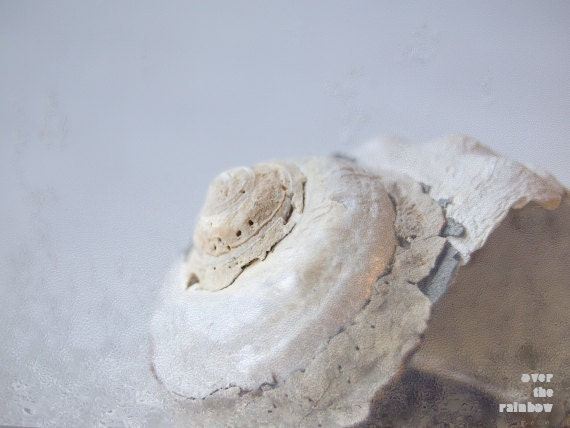 Shabby chic sea shell photograph, fine art, still life, nature, beach photograph, 10x7.5, Giclée - titled: Sea life I