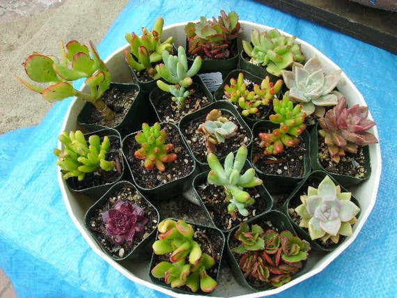 Twenty five 1 inch to 2 inch or longer unrooted succulent cuttings all for twenty five dollars.