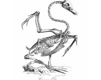 Swan Skeleton Vintage Style Art Print Cygnus Olor Black and White Grey Animal Anatomy