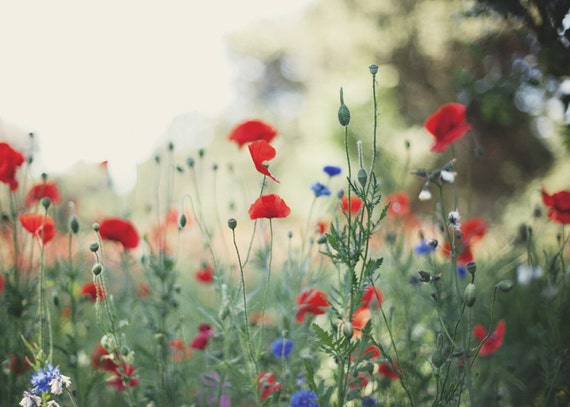 for the love of poppies - 5x7 fine art nature photo