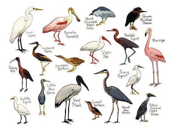 water birds field guide style watercolor painting by katedolamore. Black Bedroom Furniture Sets. Home Design Ideas