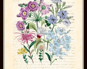 Antique Botanical - Flower Garden Series with French Script - Plate 42 - British Botanical Art Print 8 x 10 Digital Collage