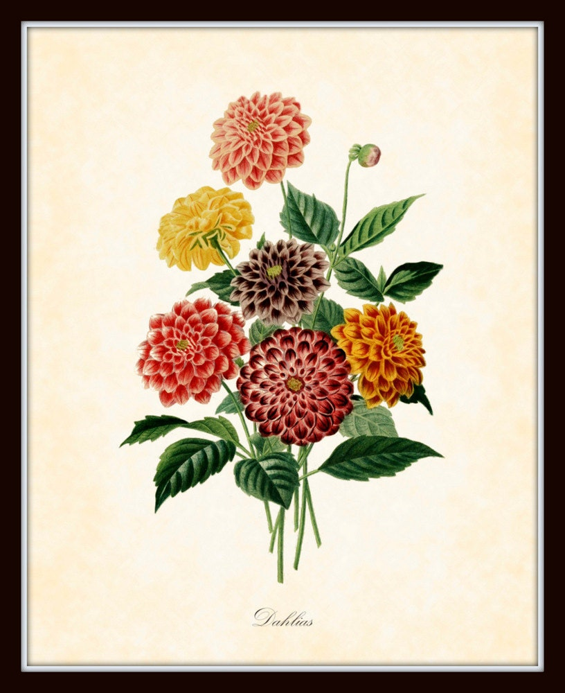 Antique Dahlias Botanical Art Print French 1849 8 by ...