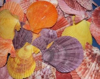 25 NATURAL COLORED PECTENS,  Seashells, Saliors Valentine, Seashells, Craft