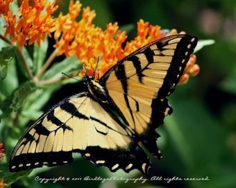 Butterfly-Eastern Tiger Swallowtail, Chippokes Plantation State Park, Virgina