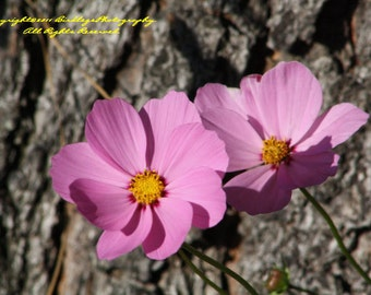 A Close-up of Cosmos - Pink Flowers in Virginia