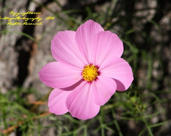 One Perfect Cosmos - Pink Flowers in Virginia
