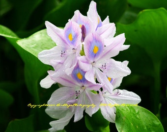 Purple Lily - Lake Olmstead - Augusta, Georgia