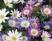 20 Anemone Blanda Flower bulbs, Perennial flowers, Mixed pastel colors