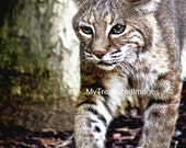 Bobcat in the hunt, fine art photograph