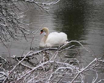 Beautiful swan on winter lake, 11X14 fine art photograph