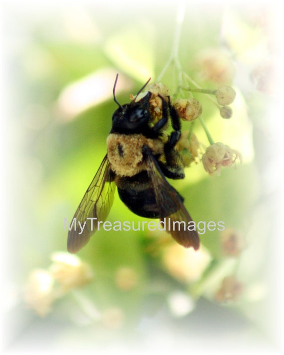 Bumble bee collecting pollen on a tree blossom. Fine art photograph