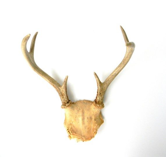 Old Taxidermy - vintage whitetail deer antlers - Unmounted Showpiece for your Man Cave