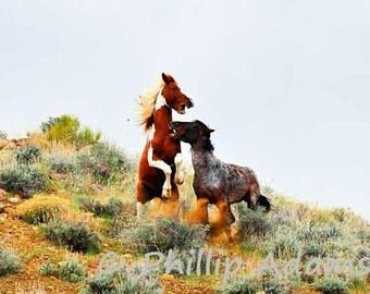 "Pinto & Roan Mustangs Fighting - 8.5"" x 11"""