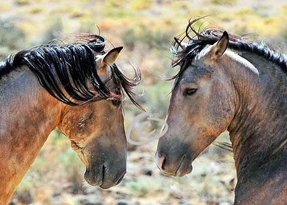 """Nose To Nose - Mustang Stallions - 5"""" x 7"""""""