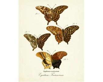 Vintage Butterfly Series 1 Plate 14 Digital Download: 8x10, specimens, butterflies, vintage-look, printing and framing