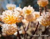 Fine Art Photograph Golden Paperbush in Spring 11x14 flowering