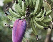 Fine Art Photograph Banana Jamaican Plantation Flowering  11x14
