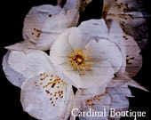 Fine Art Photograph Philadelphus, the Flower of Brotherly Love 8x8