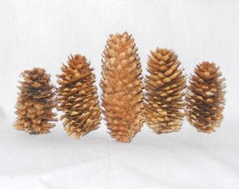Pinecones(Colorado Spruce)