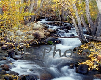 Aspens in fall color, Autumn scenery along Lee Vining Creek - Photo note card