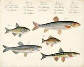Natural History Collection Guide-Fish Print No. 1 8x10