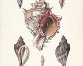 Sea Shell - Antique Sea Shells Collection Wall Decor Print No. 2 8x10