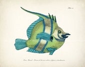 Vintage Fanciful Fish Illustration - Natural History Giclee Art Print - Plate xii Aqua Stripe