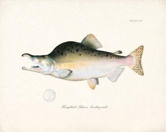 Fish Art Print - Humpback Salmon Natural History Wall Decor Print 8x10