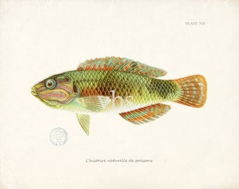 Coastal Decor Fish Illustration Nautical  Art Print - Plate XII 10 x 8