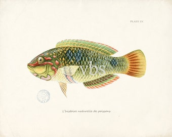 Coastal Decor Fish Art - Natural History Print - Plate IX 10x8